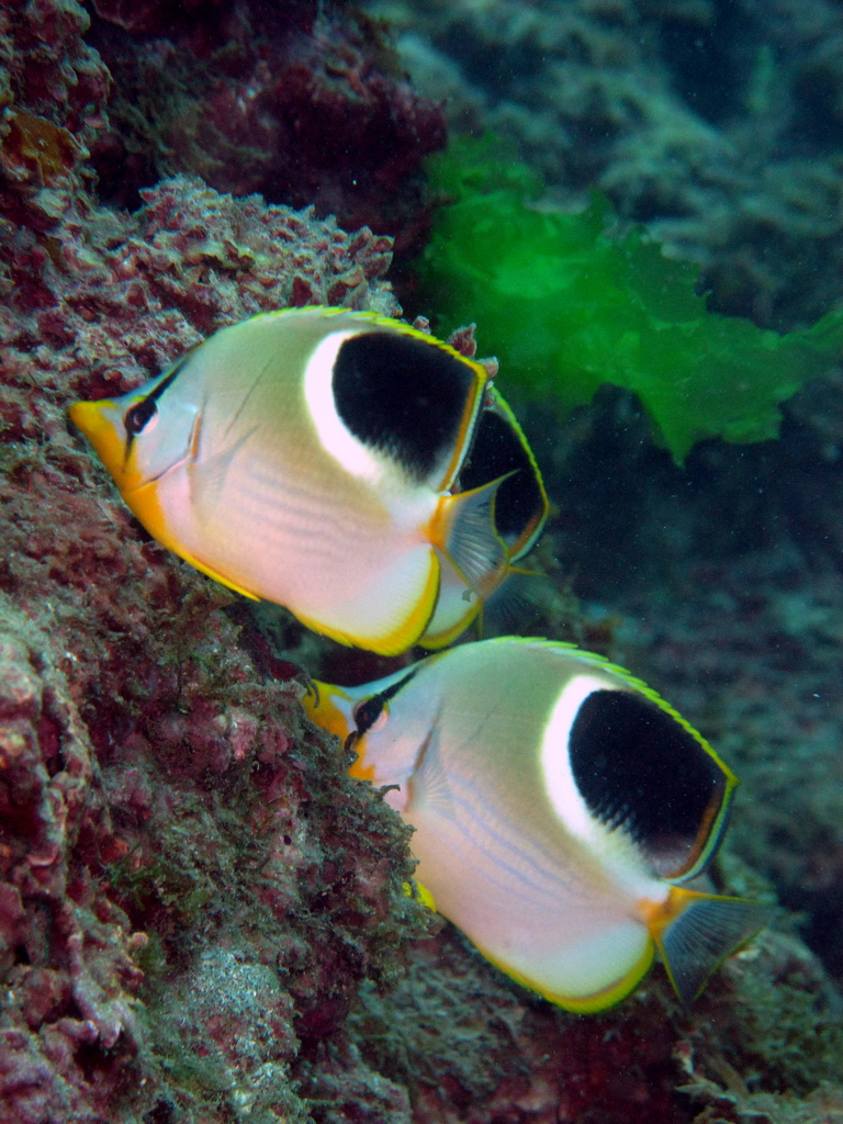 Sunset butterflyfish
