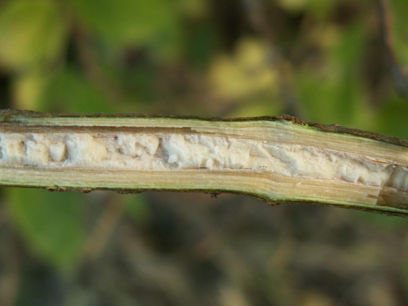 Elderberry stem by Krzysztof Ziarnek
