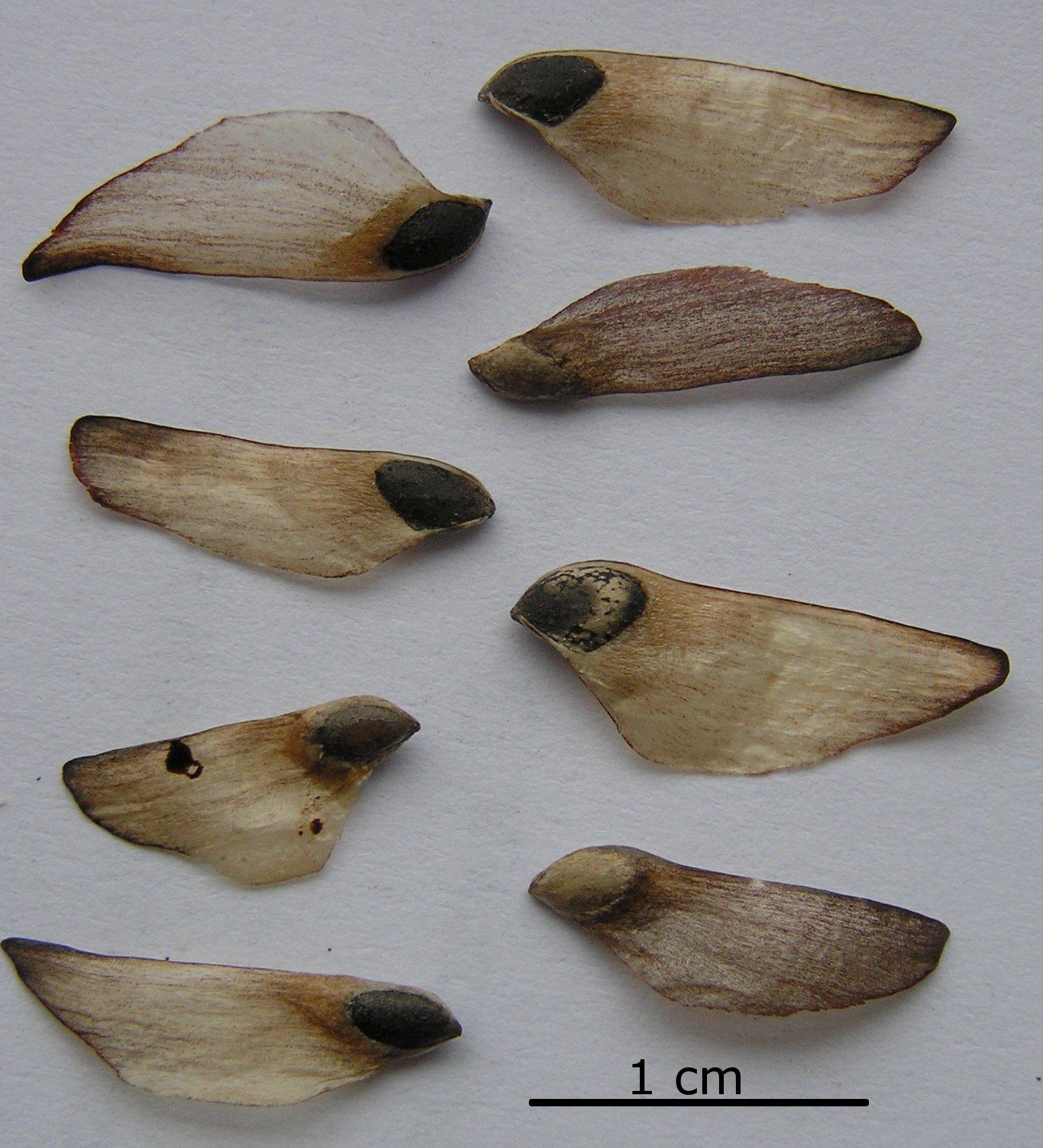 Species of UK: Week 10: Scots Pine (Pinus sylvestris)