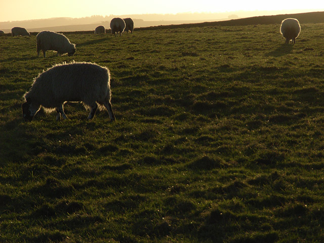 Sheep on Whitehorse Hill - geograph.org.uk - 292740