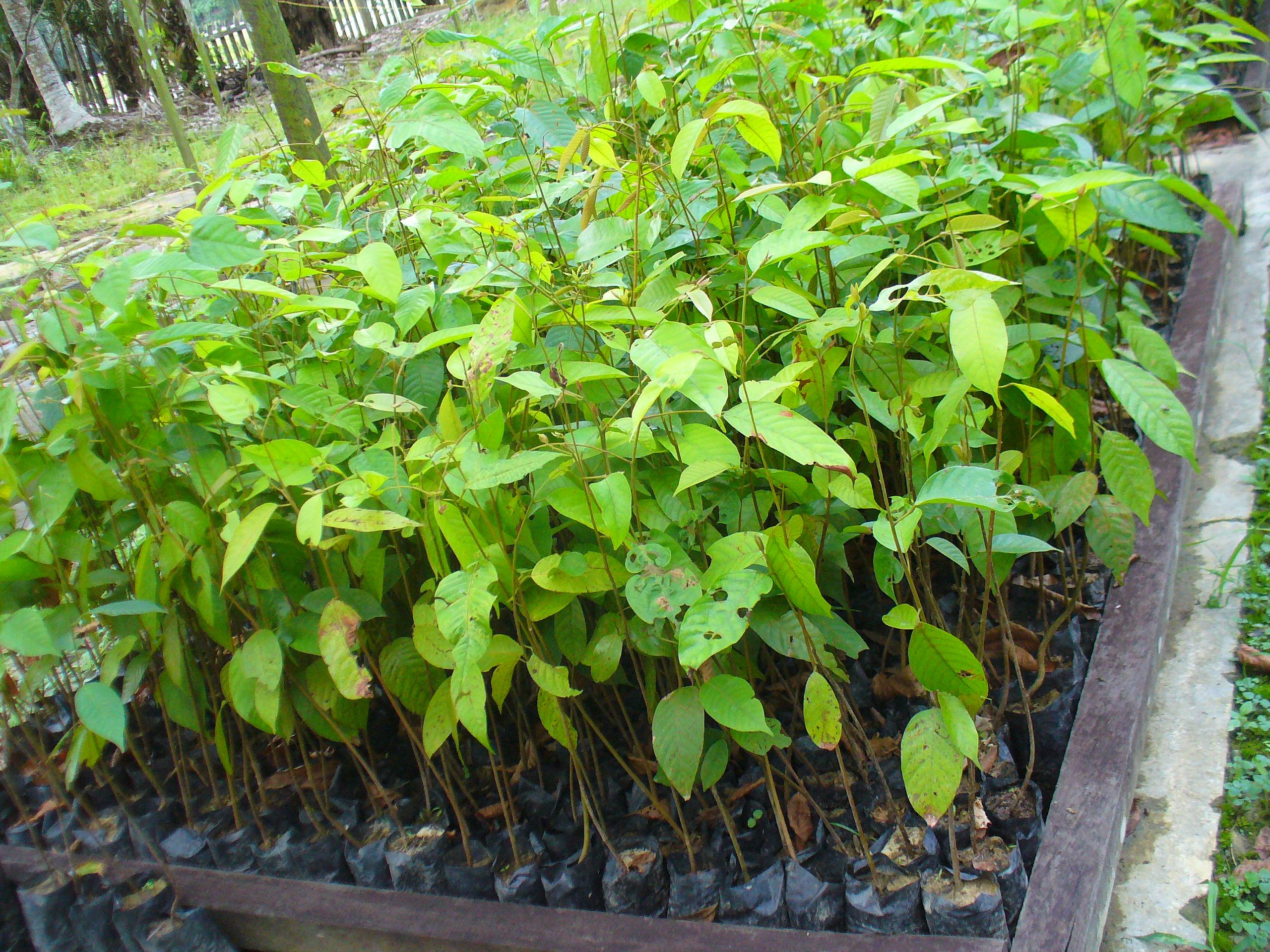 File Sa Leprosula Seedlings In Nursery Jpg
