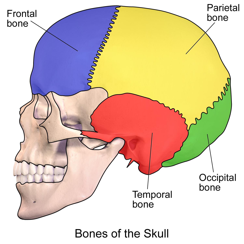 Fileskull Bones Part 2g Wikimedia Commons