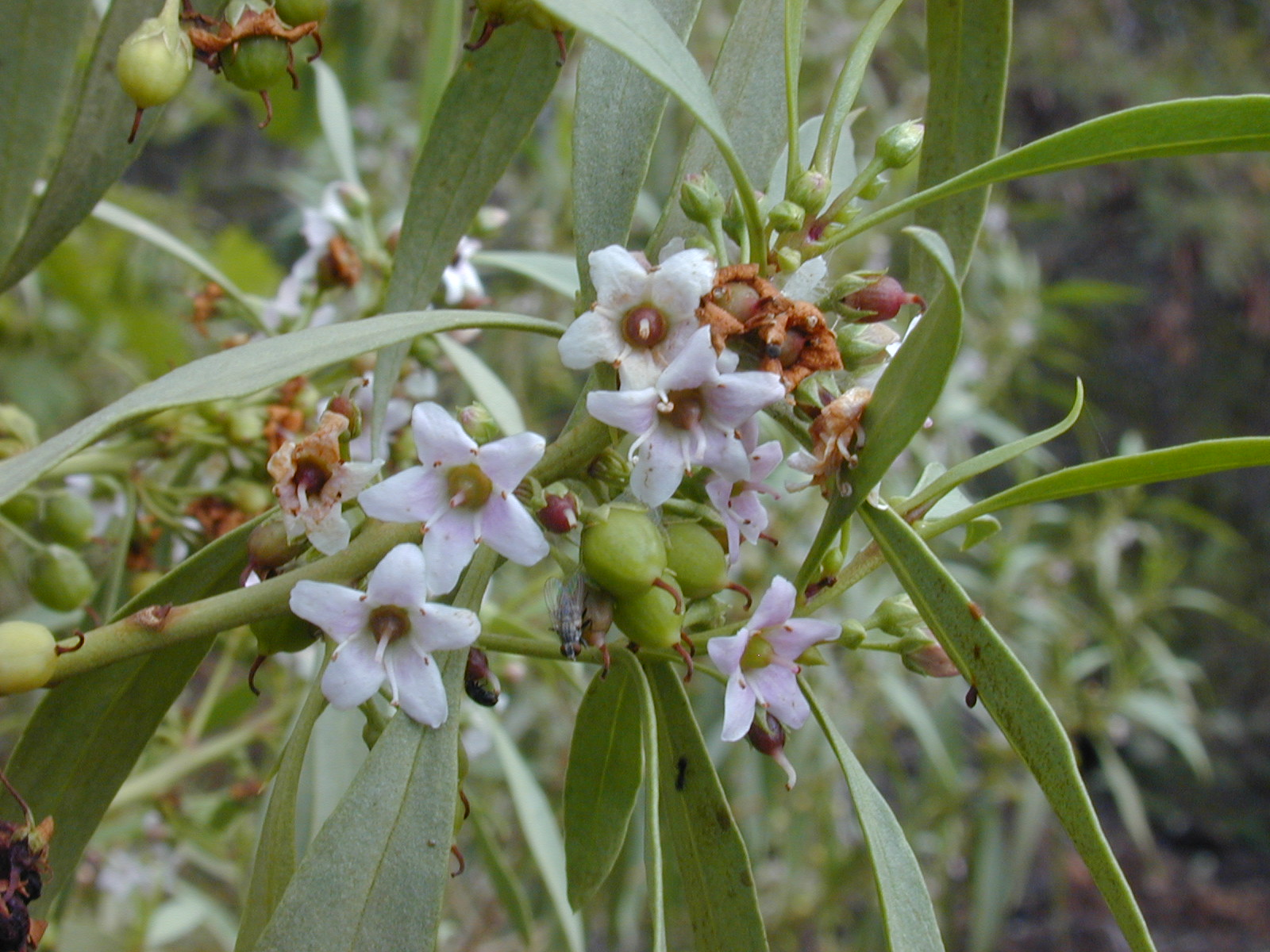 Myoporum Sandwicense Myoporum Sandwicense.jpg