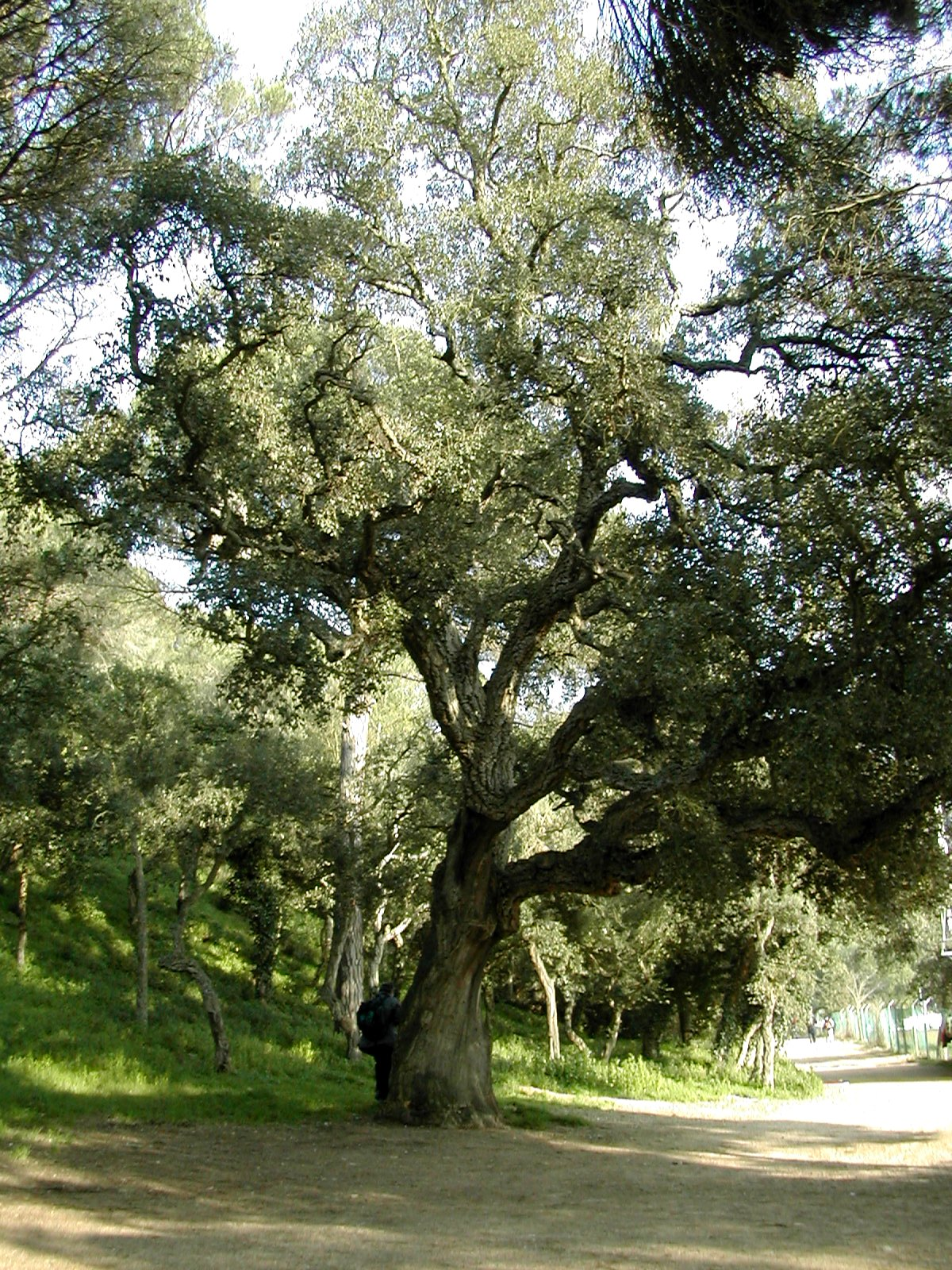 Quercus Suber  an overview  ScienceDirect Topics