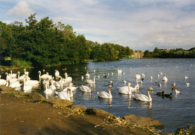 Swans at St Margaret's Loch,Edinburgh - geograph.org.uk - 339155