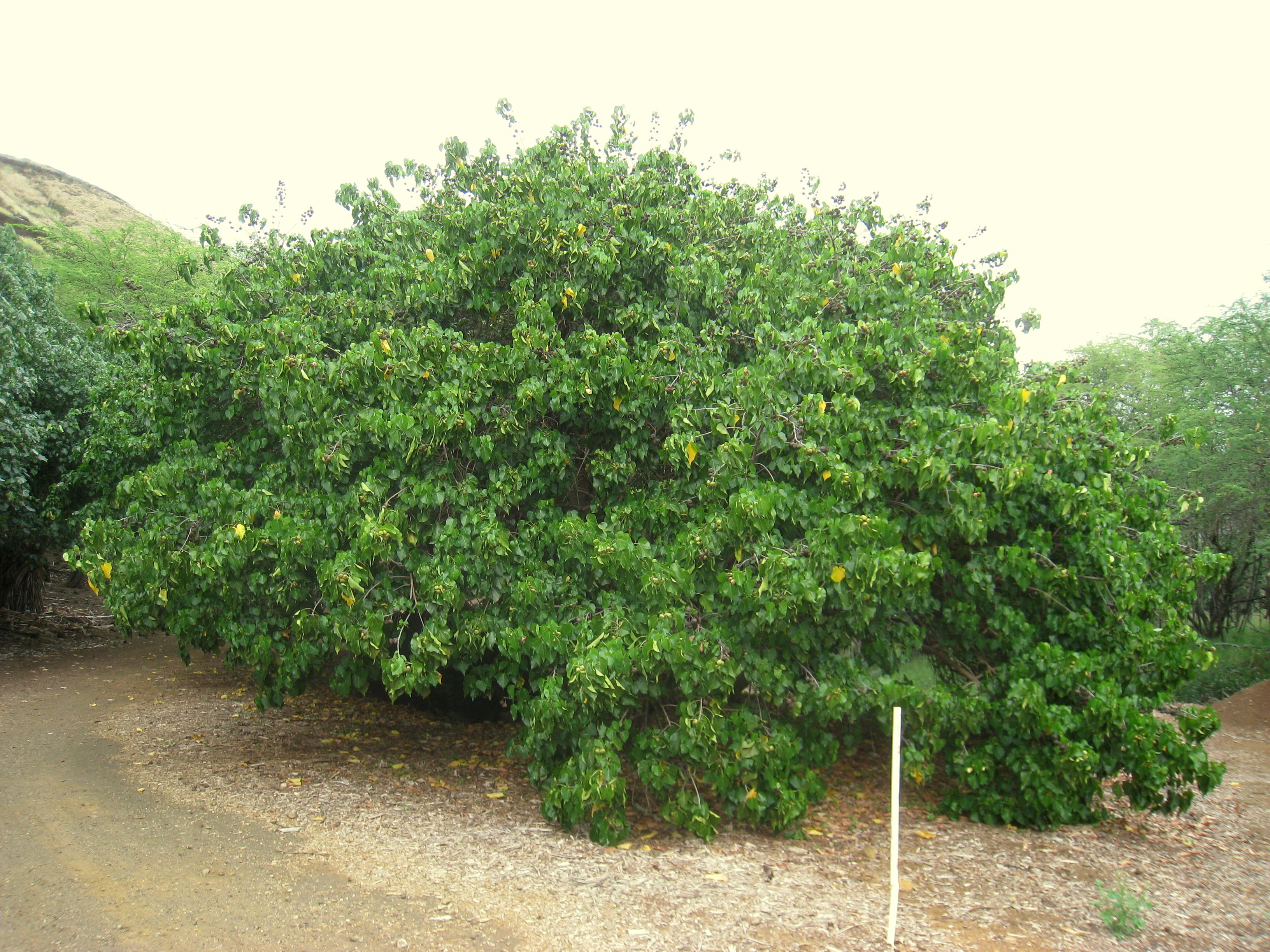 File Thespesia Populnea Koko Crater Botanical Garden Img 2169 Jpg Wikimedia Commons