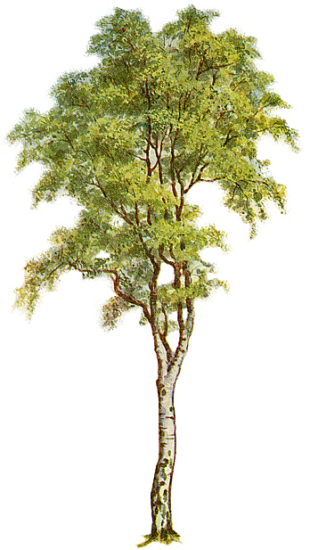 birch tree jewish single men Trees quotes quotes tagged as  not like hermits who have stolen away out of some weakness, but like great, solitary men,  so the tree rustles in the evening, .