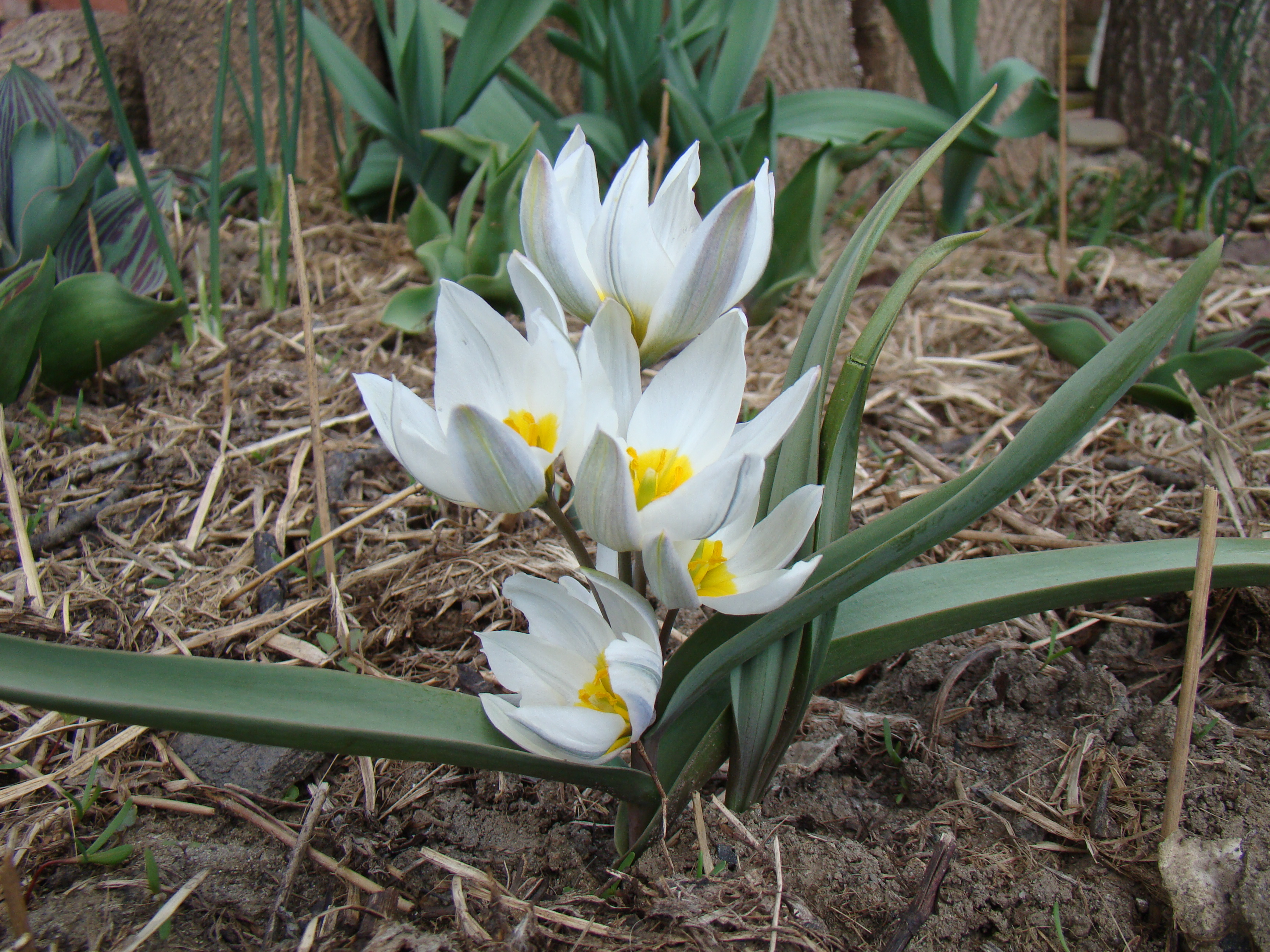 Bildresultat för tulipa polychroma