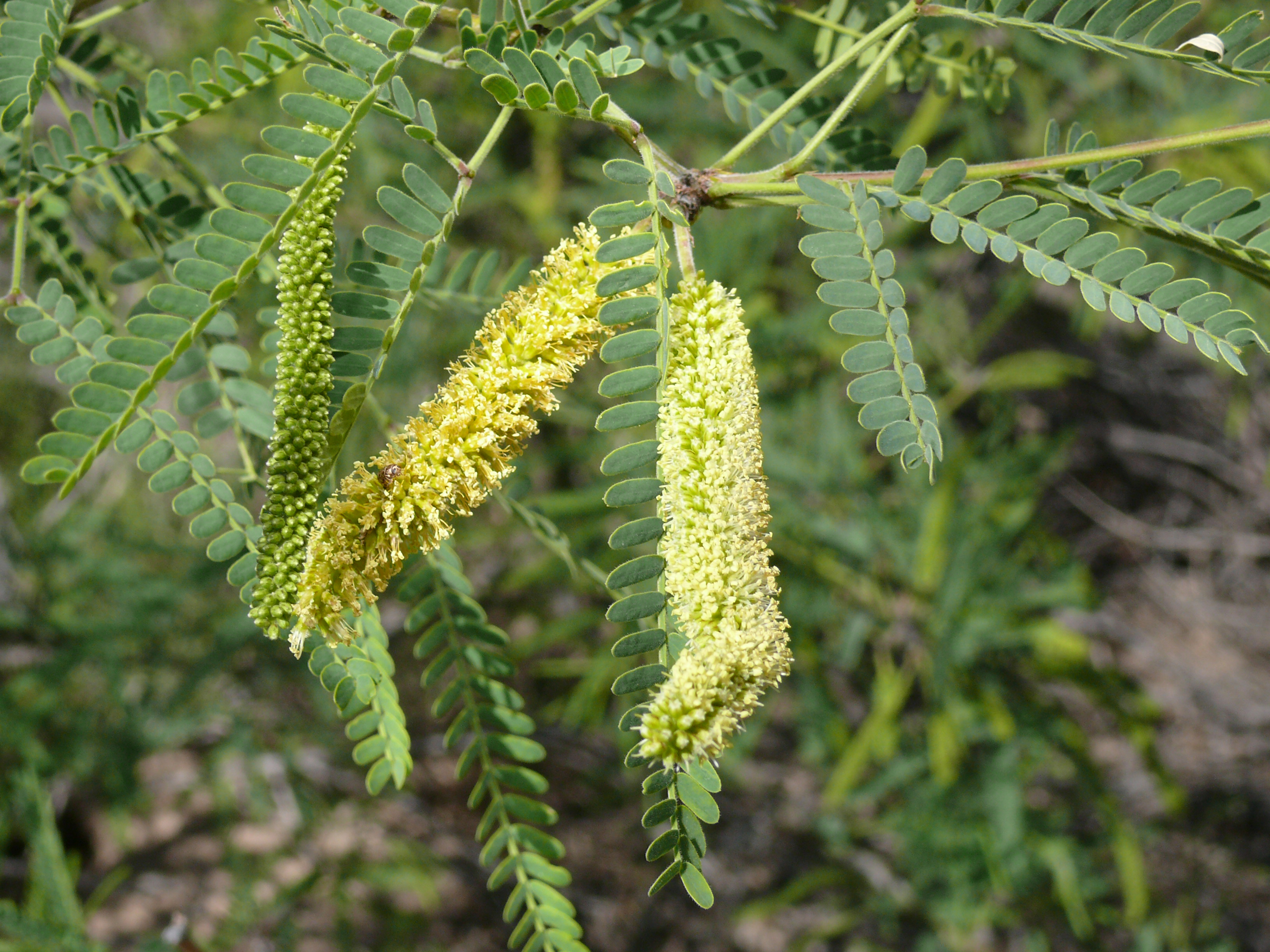 Type Of Tree File Velvet Mesquite Catkins Jpg Wikimedia Commons