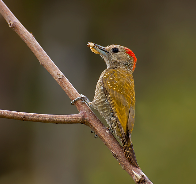 Little Yellow Bird >> Little woodpecker - Wikipedia