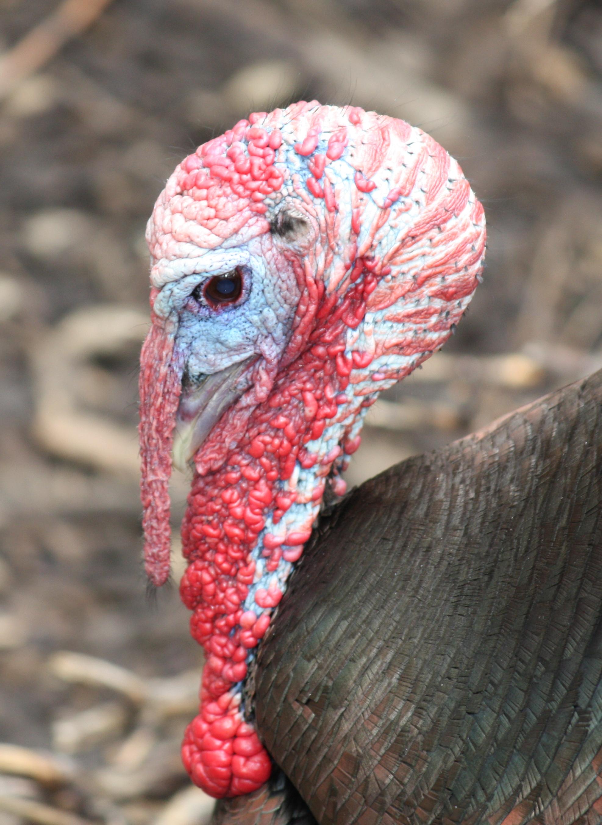 A description of the wild turkey