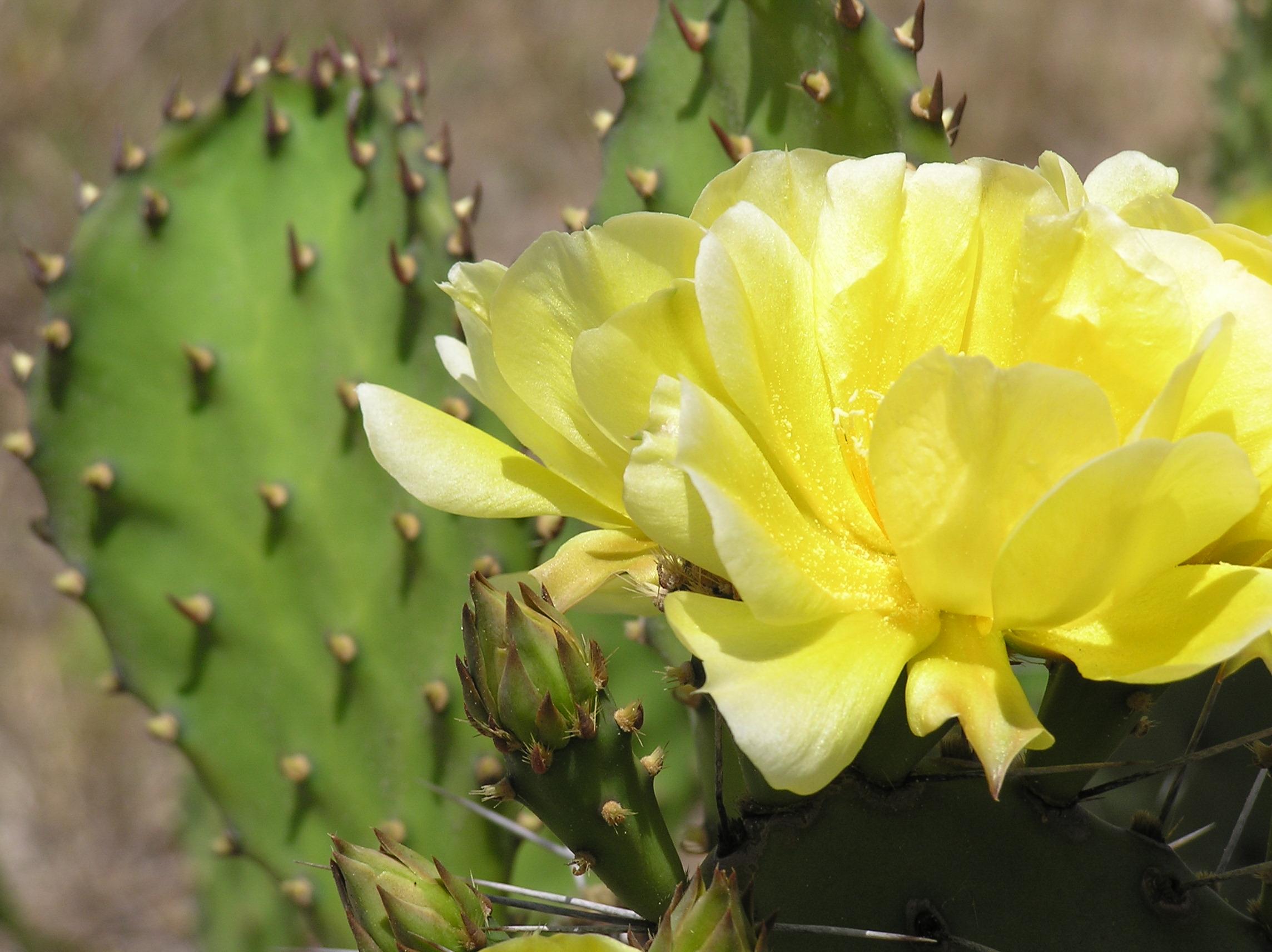 File Yellow cactus flower