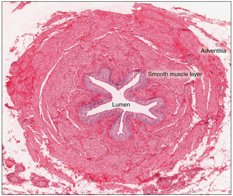 Ureter - Definition
