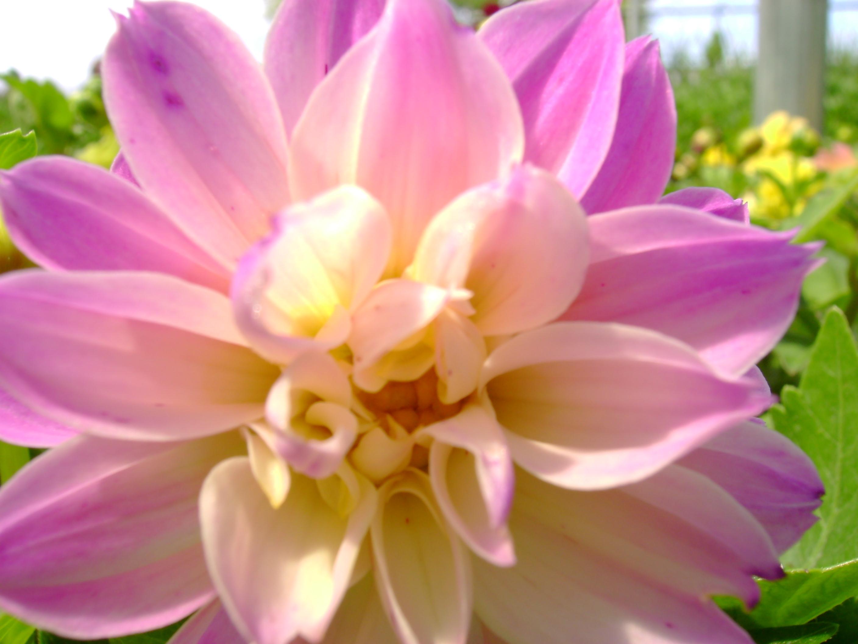 Filea dahlia flowerg wikimedia commons filea dahlia flowerg izmirmasajfo