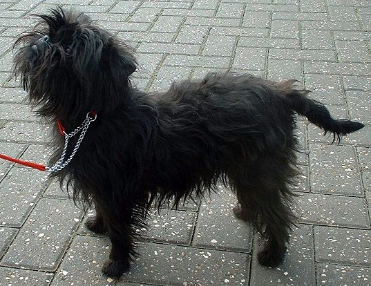 http://upload.wikimedia.org/wikipedia/commons/1/17/Affenpinscher.jpg