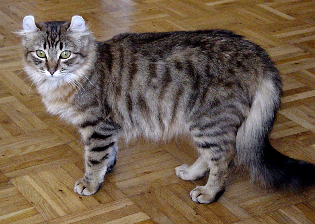 Ultimate Cat Cat Breeds American Curl