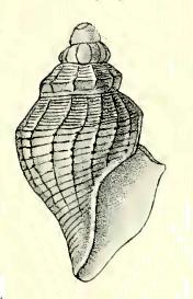 <i>Antiguraleus ula</i> Species of gastropod