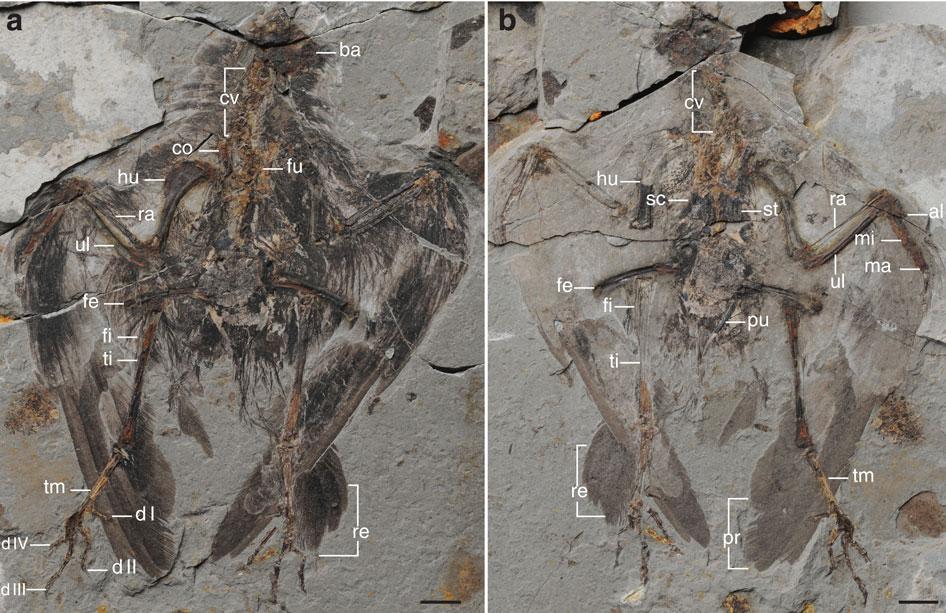 https://upload.wikimedia.org/wikipedia/commons/1/17/Archaeornithura_meemannae_Holotype.jpg