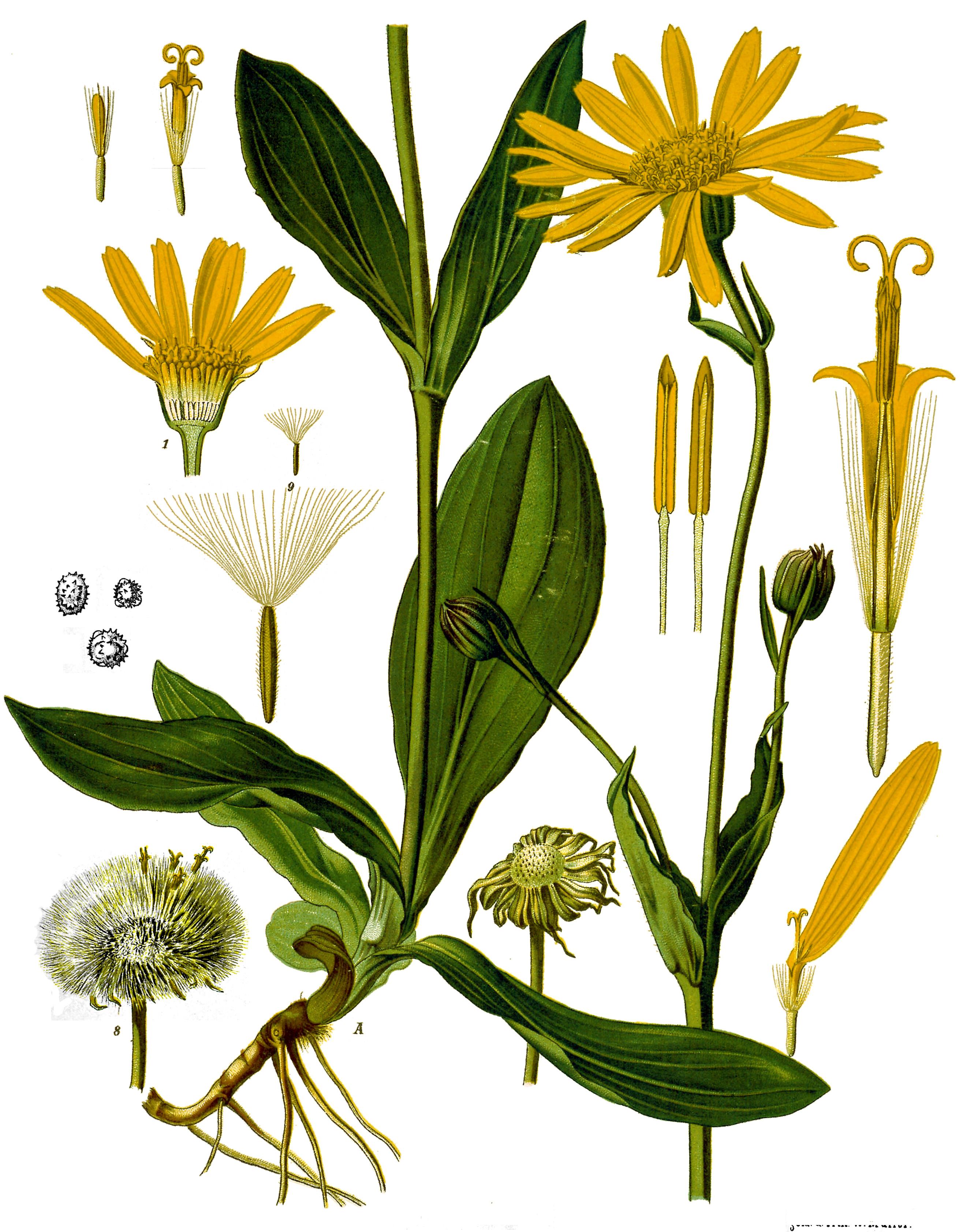 Arnica Montana - Köhlers Medizinalpflanzen