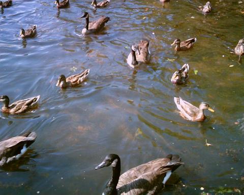 Water Bird Wikipedia