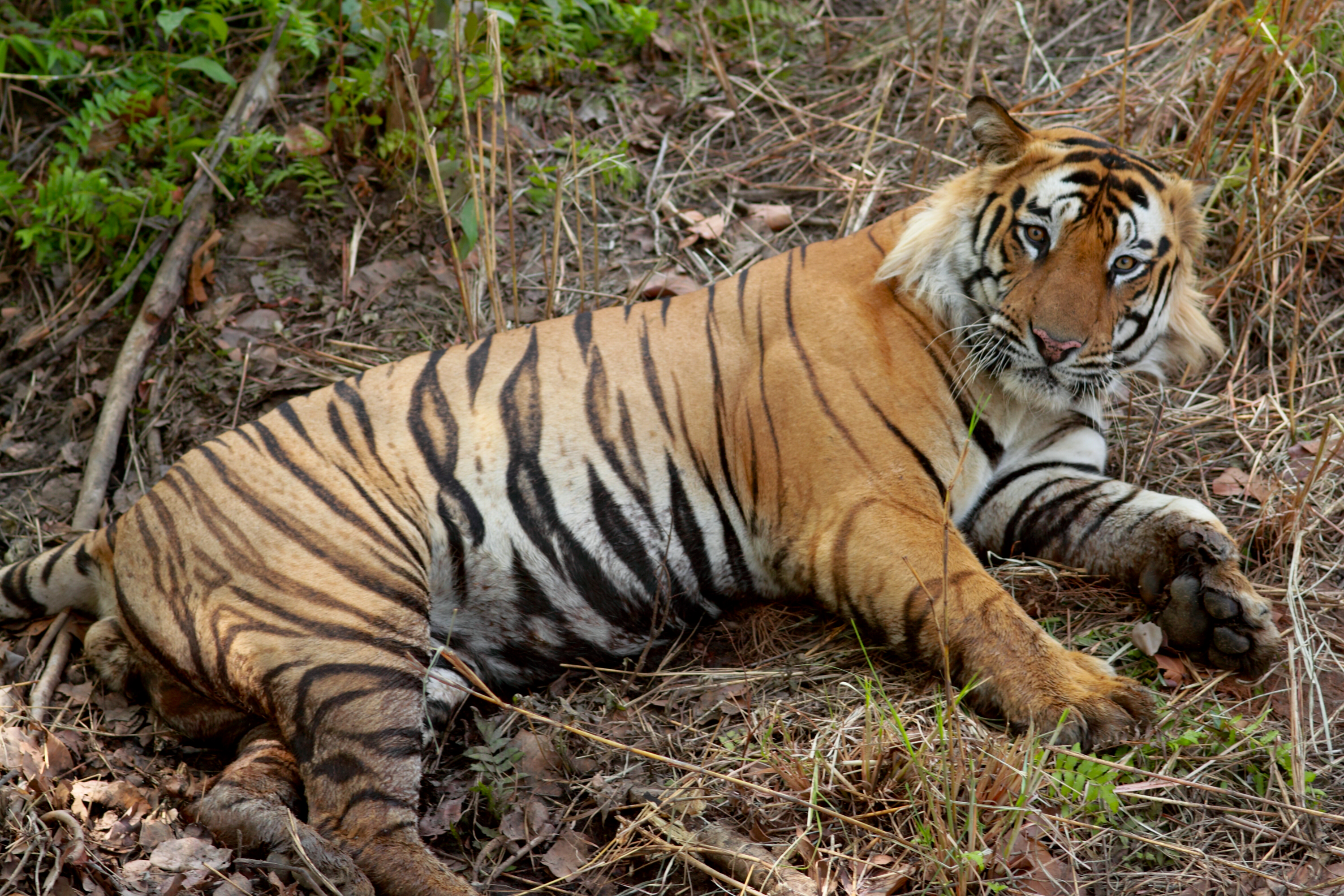 Description Bengal Tiger India.jpg