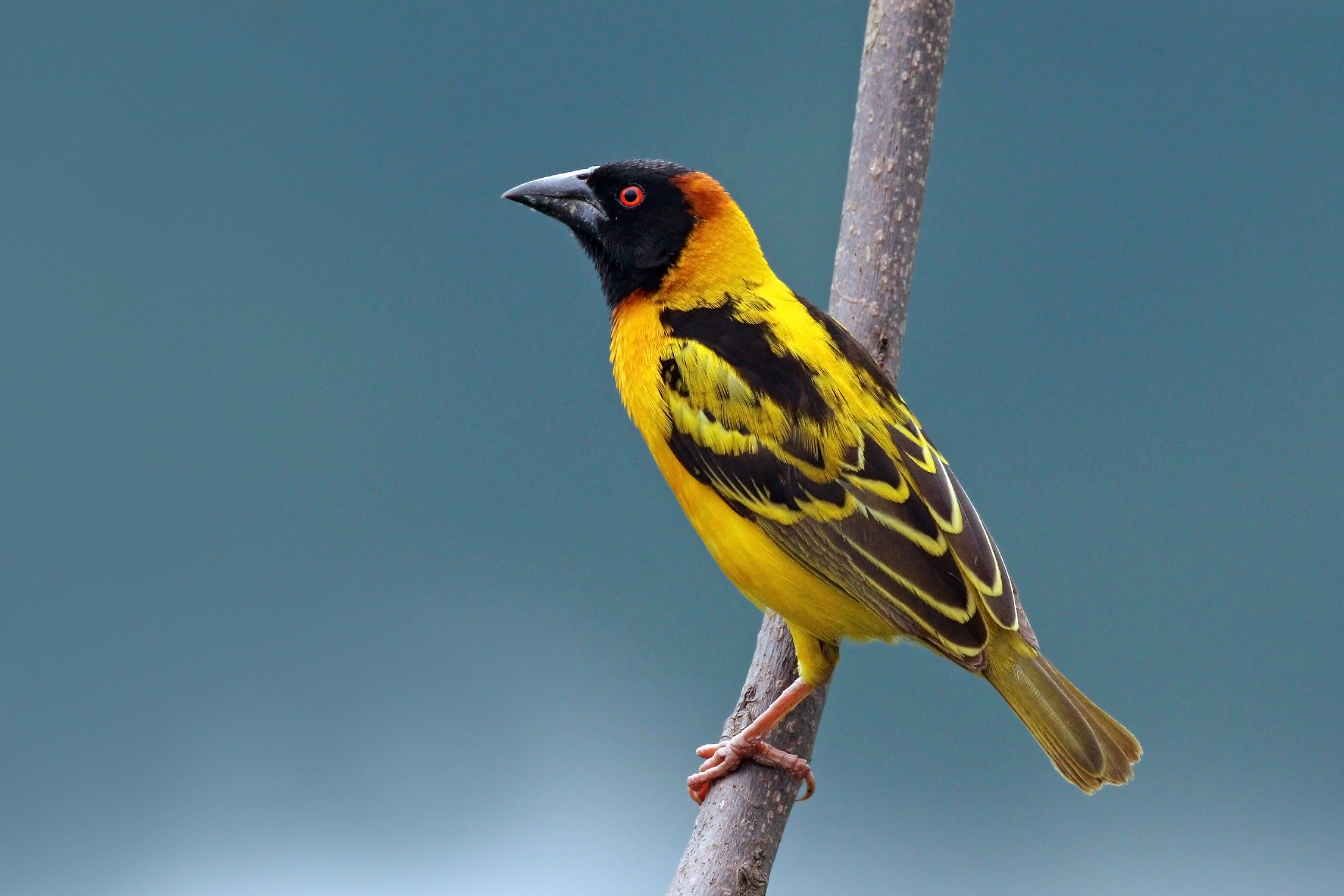 https://upload.wikimedia.org/wikipedia/commons/1/17/Black-headed_weaver_%28Ploceus_cucullatus_bohndorffi%29_male.jpg