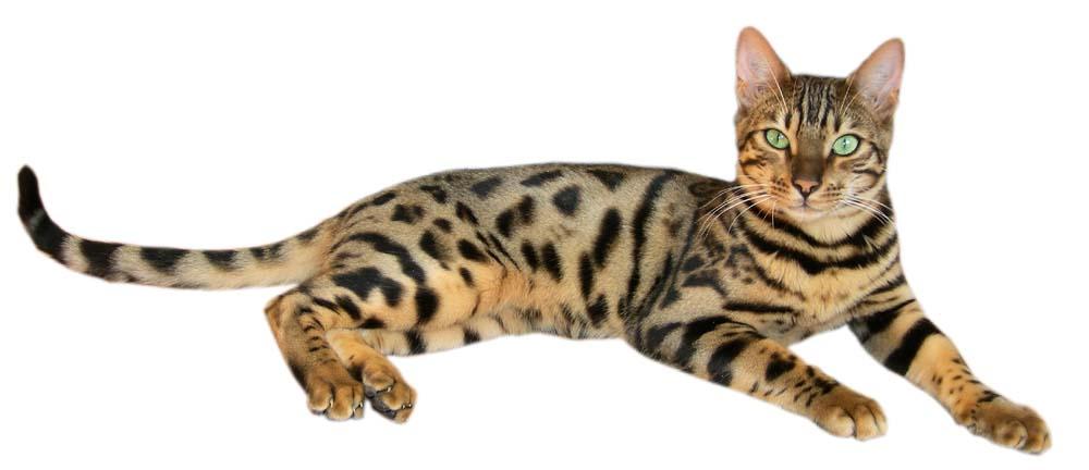 Le pelage du chat de Bengal représente un trait caractéristique de la race.  Les deux motifs admis sont le