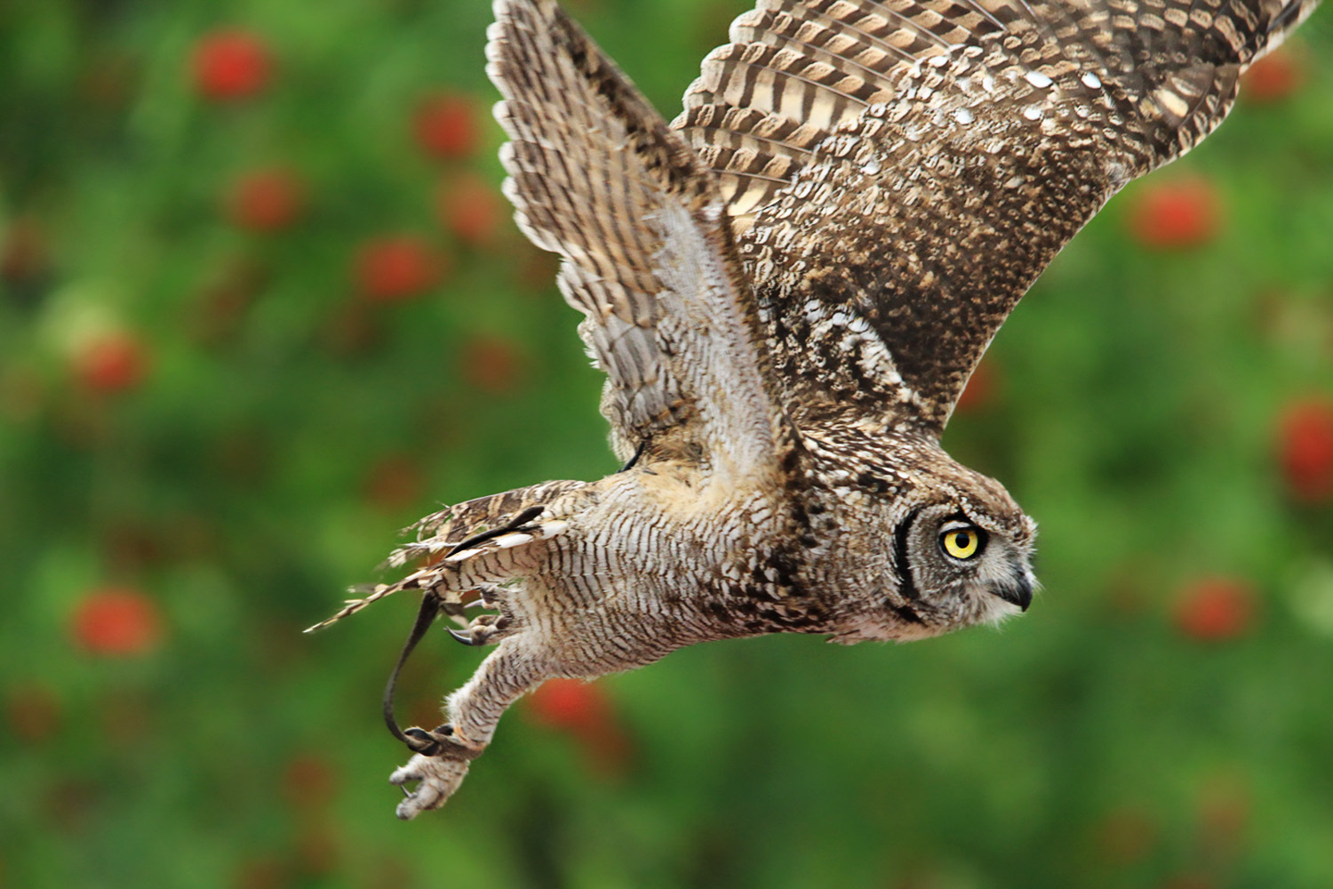 spotted owl flying