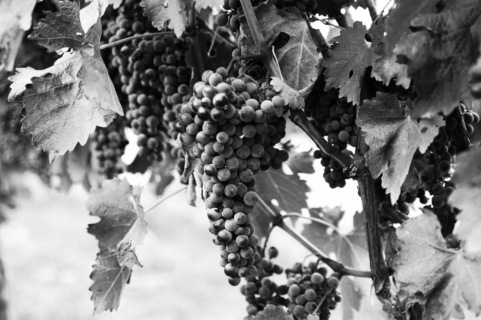 File Bw Wine Grapes Jpg Wikimedia Commons