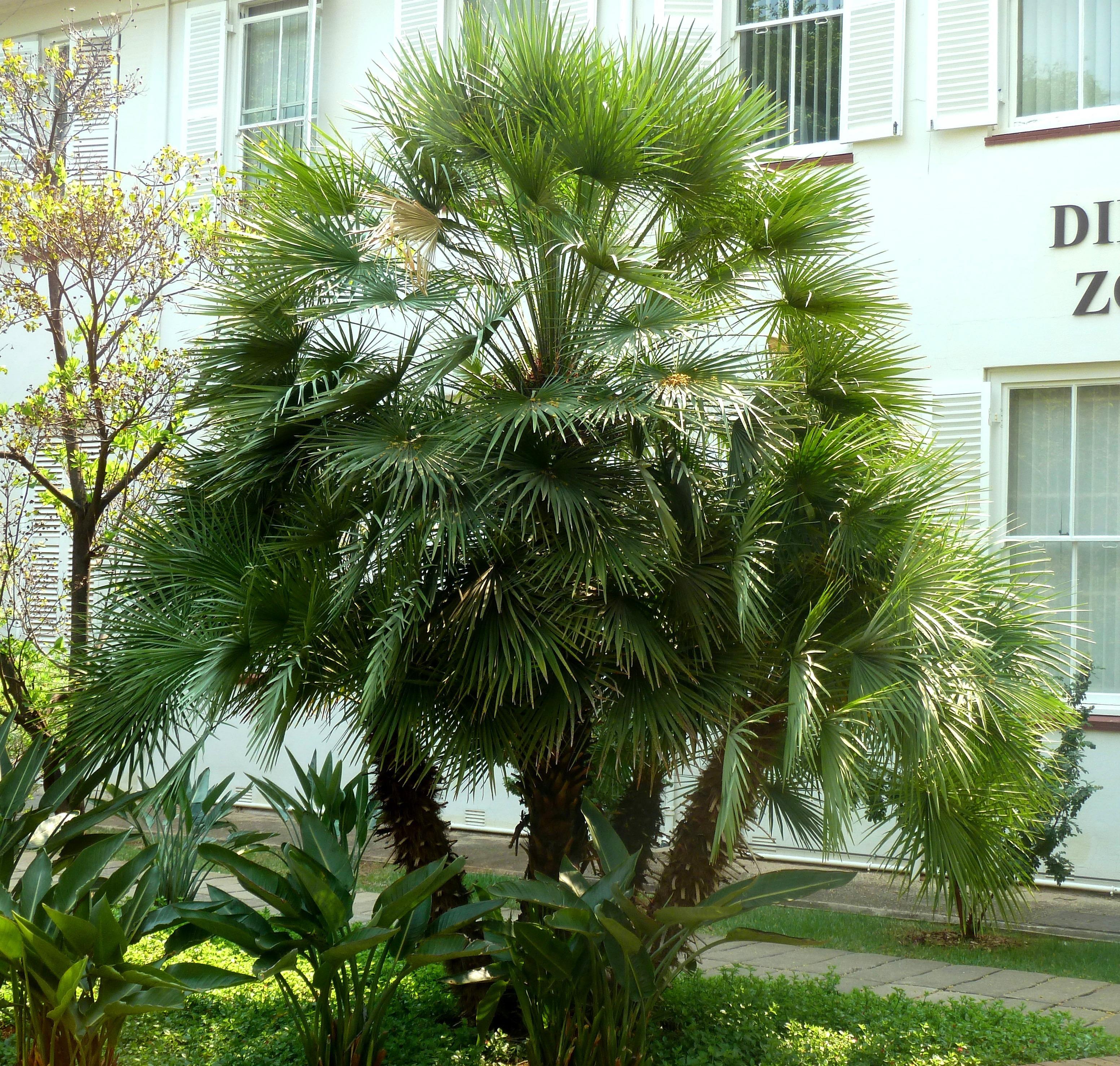 Chamaerops humilis, habitus, Tuks.jpg English: Habit of Mediterranean fan palm at the University of Pretoria Date 11 October 2015, 13:59 Source
