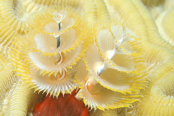 File:Christmas Tree worms.jpg