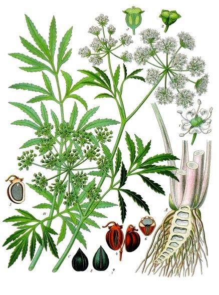Cicuta virosa wikipedia for Plante western