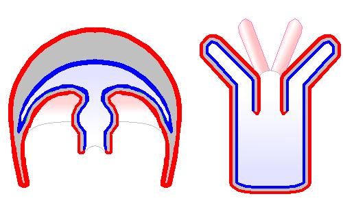 Medusa (biology) - Simple English Wikipedia, the free encyclopedia