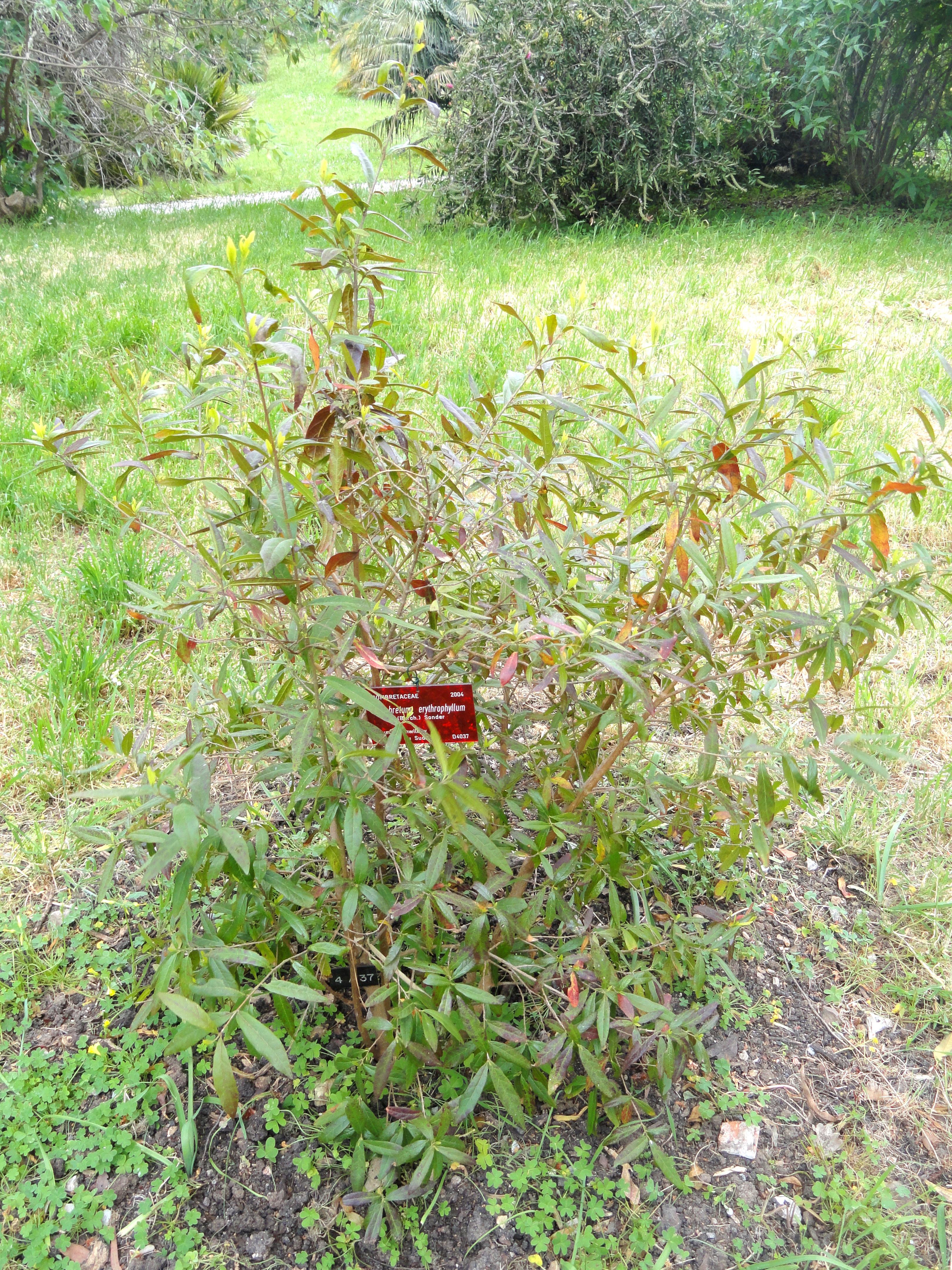 File combretum erythrophyllum villa thuret dsc04809 for Jardin villa thuret antibes