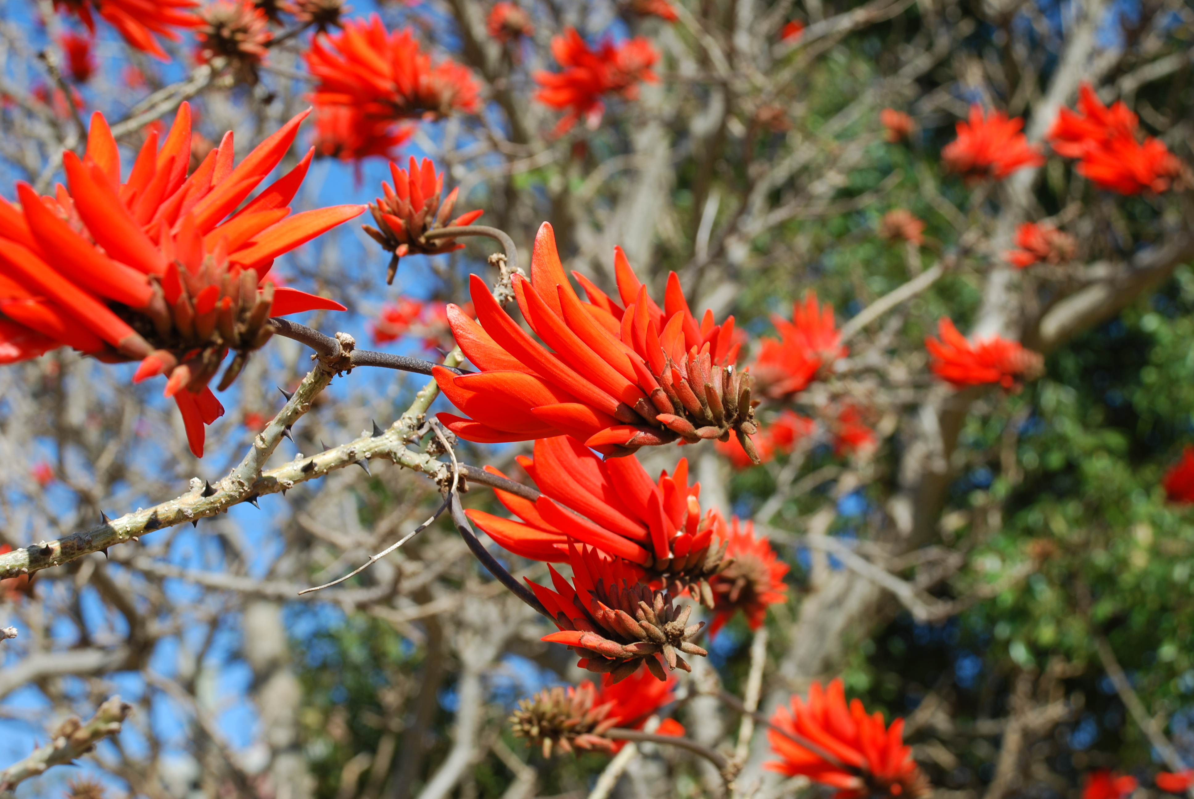 file coral tree jpg   wikimedia commons