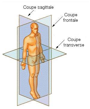 Image:Coupe anatomie.jpg