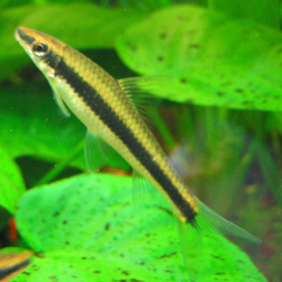 Siamese algae eater wikipedia for Algae eating fish for ponds