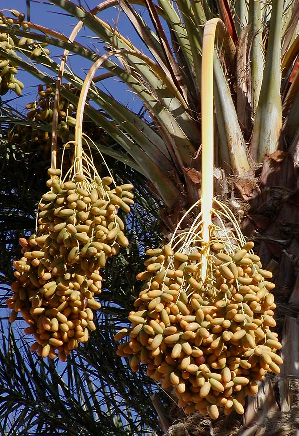 Dates growing on a date palm.