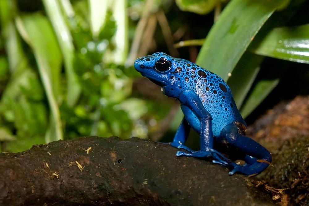 Image Result For Poison Dart Frog