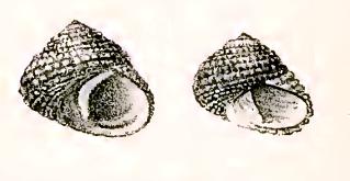 <i>Diloma radula</i> species of mollusc