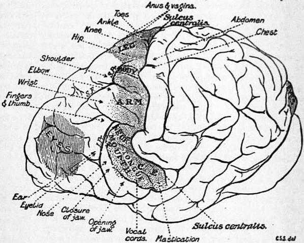 EB1911 Brain Fig. 24-Chimpanzee.jpg