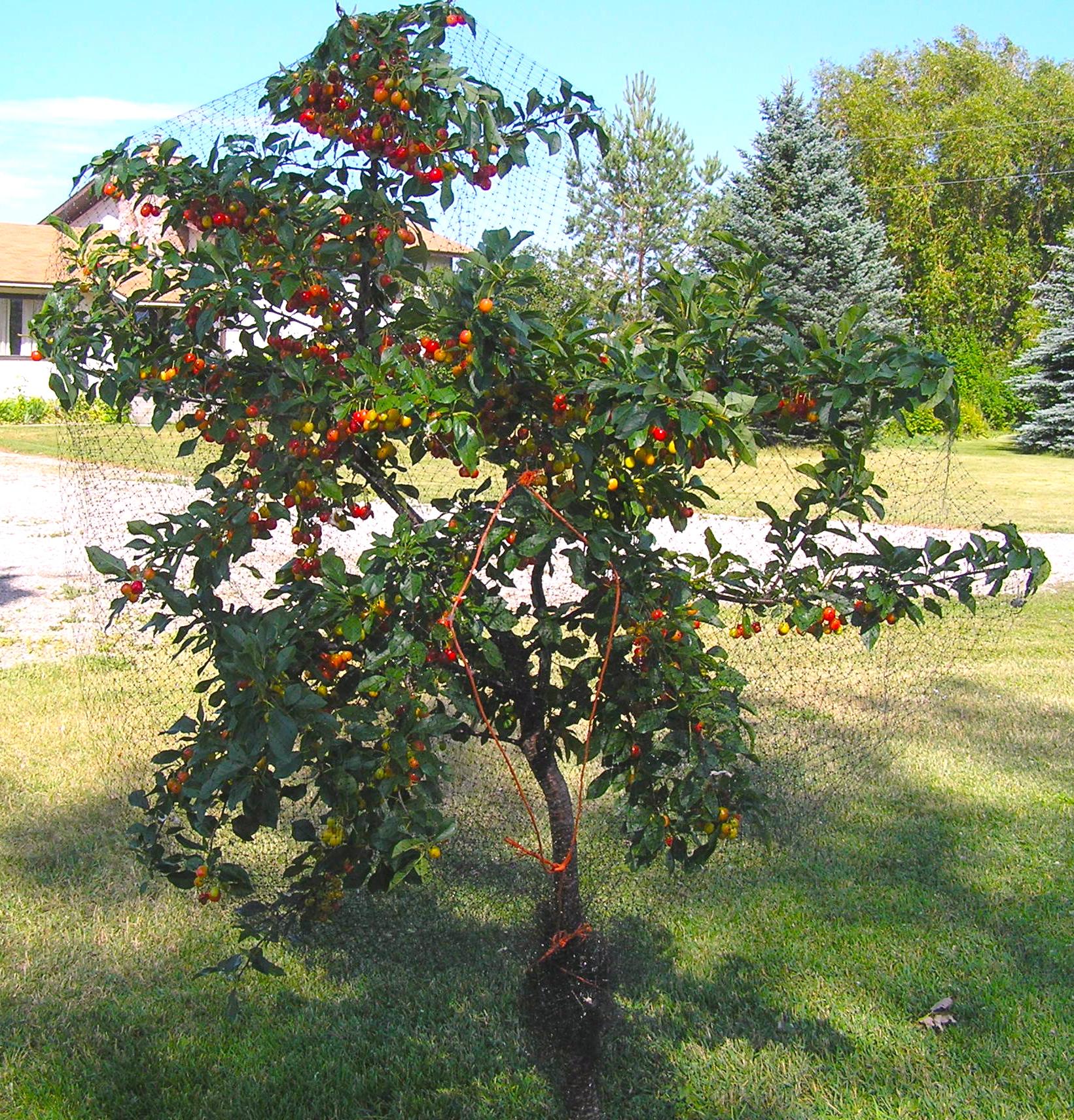 Evans Cherry Wikipedia