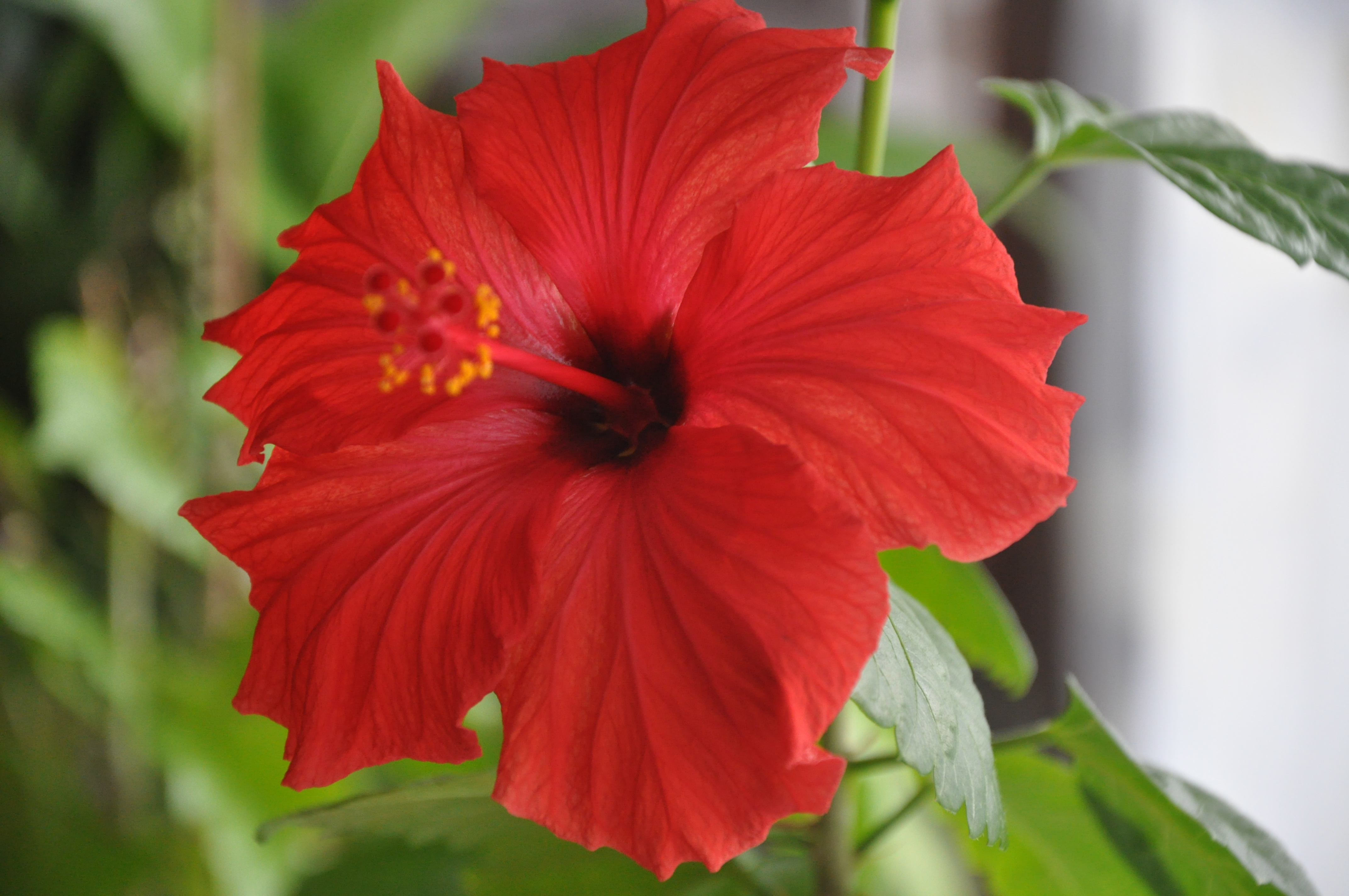 actualit entretenir ses hibiscus nos conseils pour votre jardin les serres du mas reboul 04. Black Bedroom Furniture Sets. Home Design Ideas