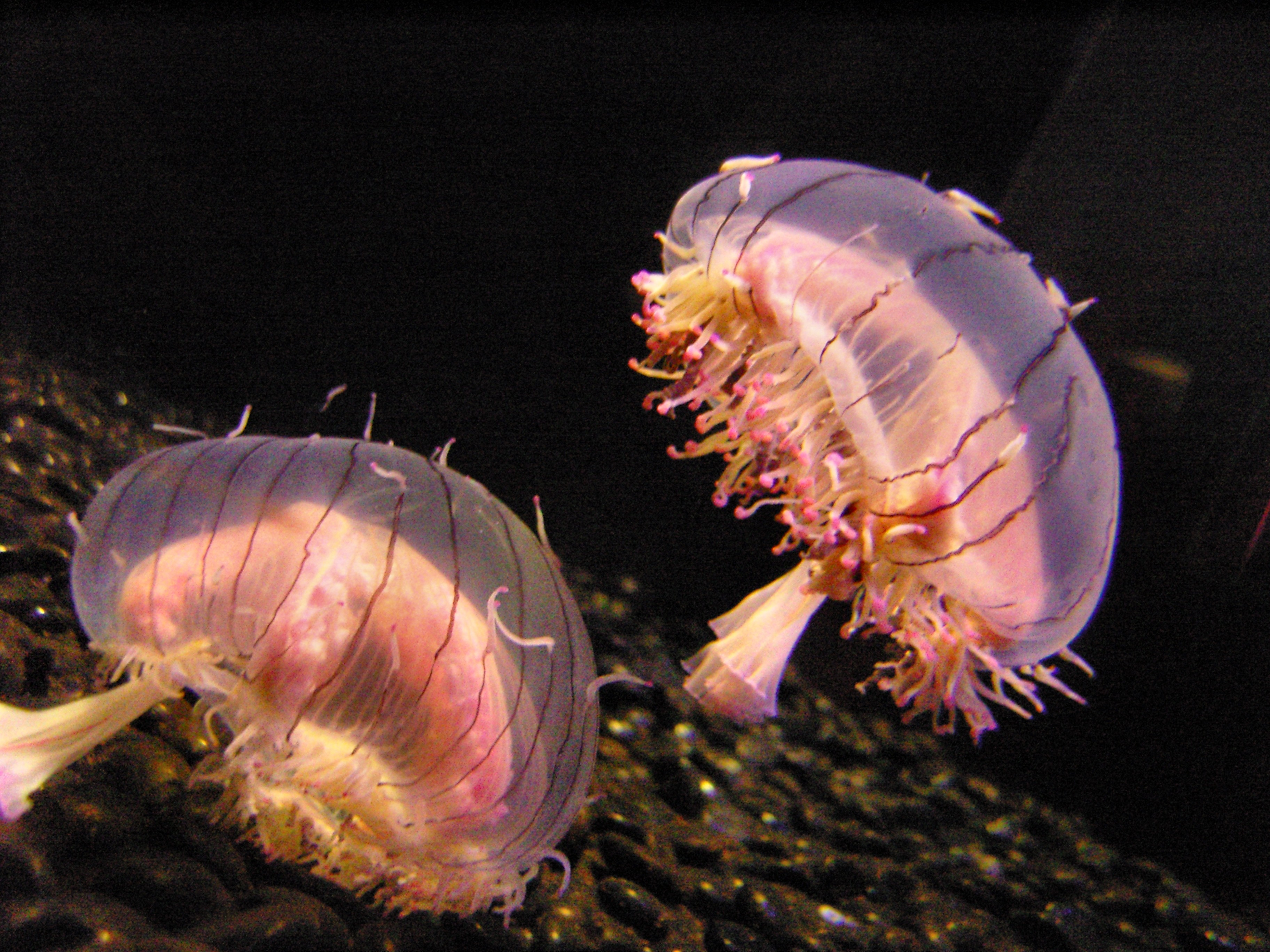 flower hat jellyfish - photo #2
