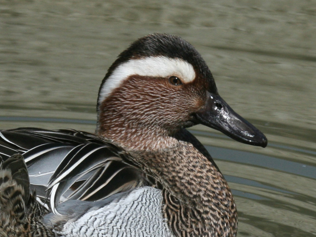 http://upload.wikimedia.org/wikipedia/commons/1/17/Garganey_%28Anas_querquedula%29_RWD1.jpg