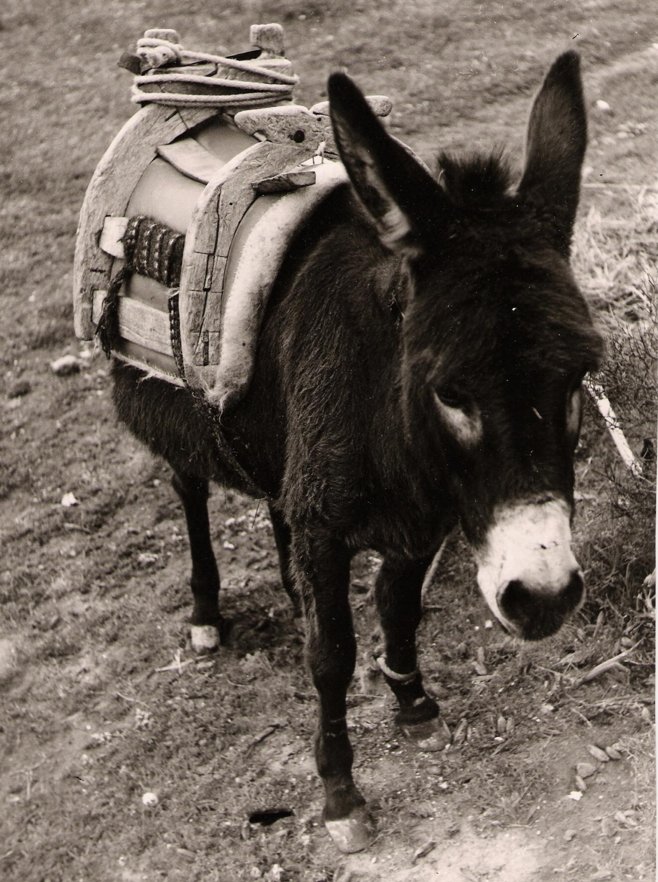Der Vorfahr des Reitsattels: ein einfacher Pack- oder Bocksattel für den Transport von Lasten und Gepäck hier an einem Esel (Quelle: Wikipedia)