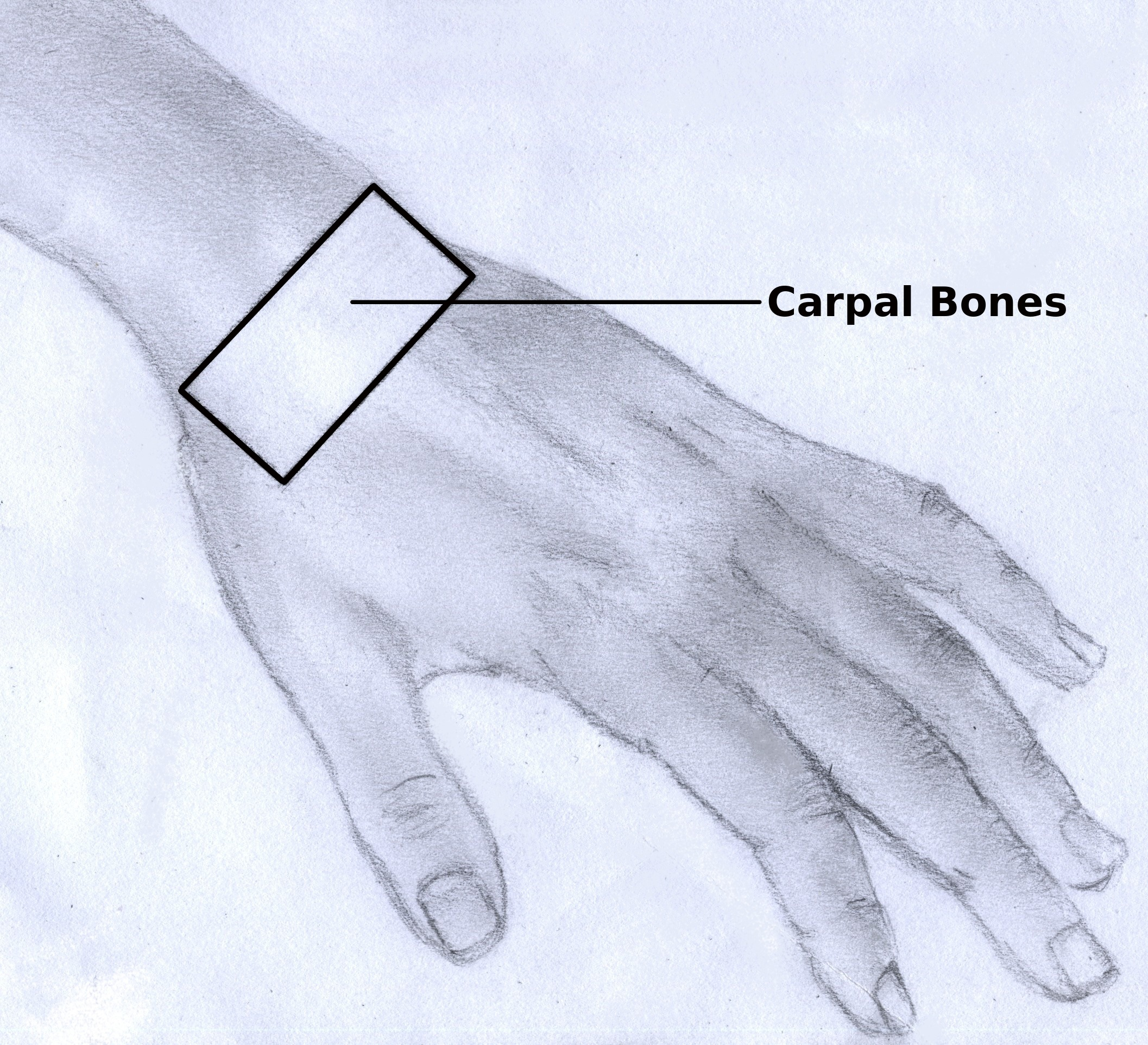 Filehand Carpal Bonesg Wikimedia Commons