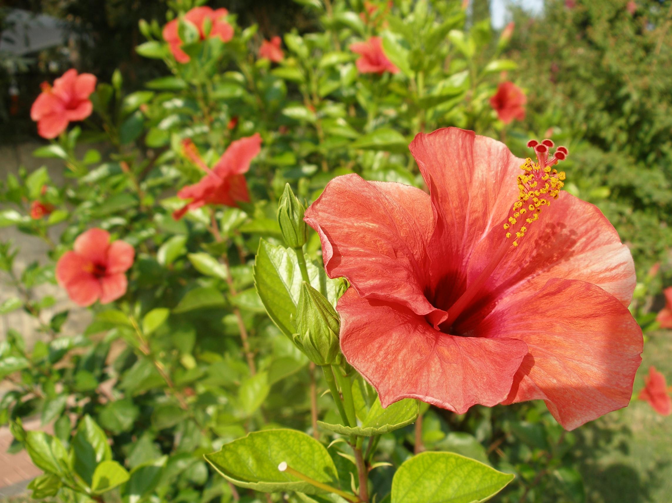 Plik hibiskus flowers jpg wikipedia wolna encyklopedia for Hibiskus pflege
