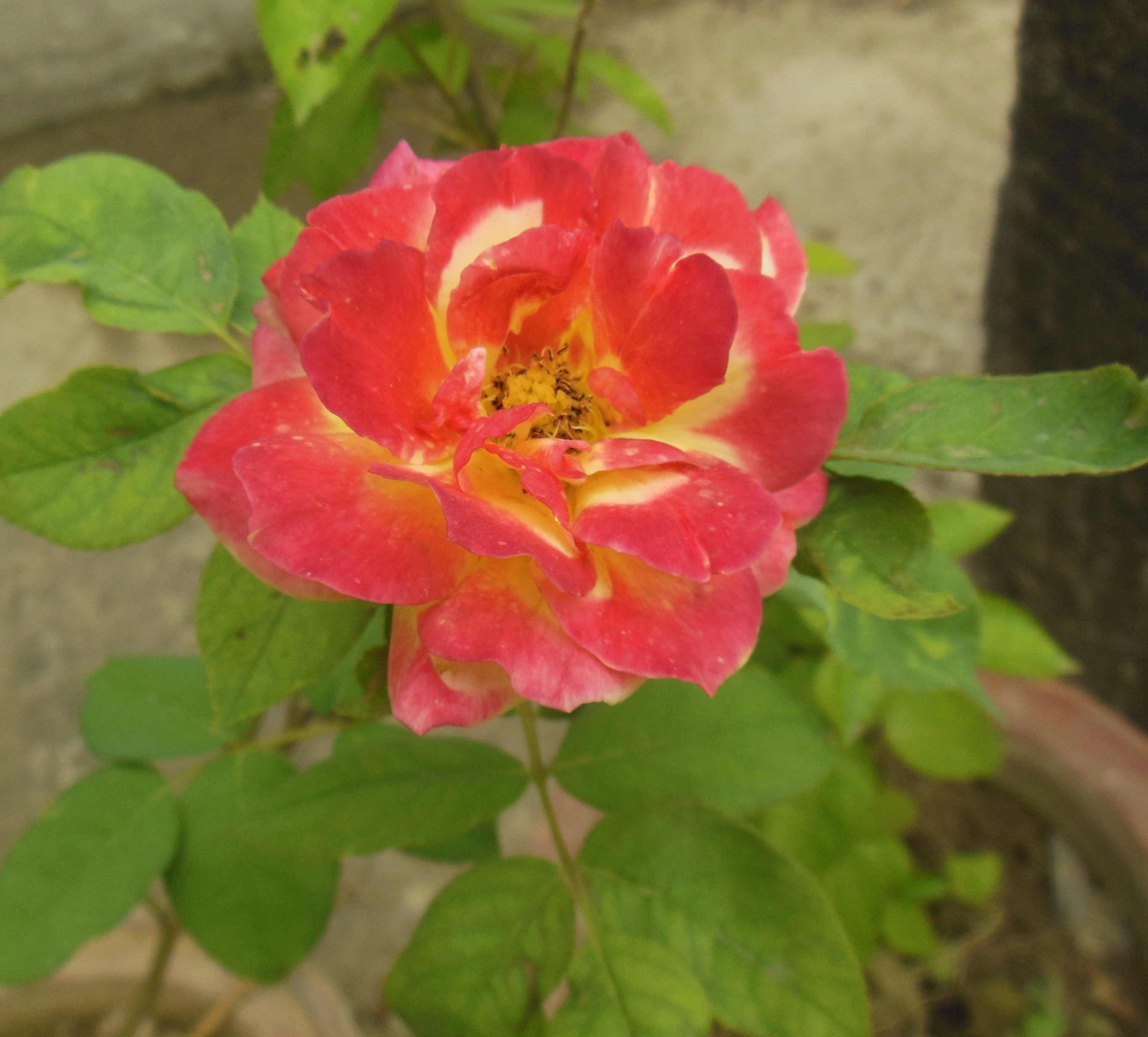 File:Hybrid Tea Rose Multi color red yellow 2 (3).JPG - Wikimedia ...