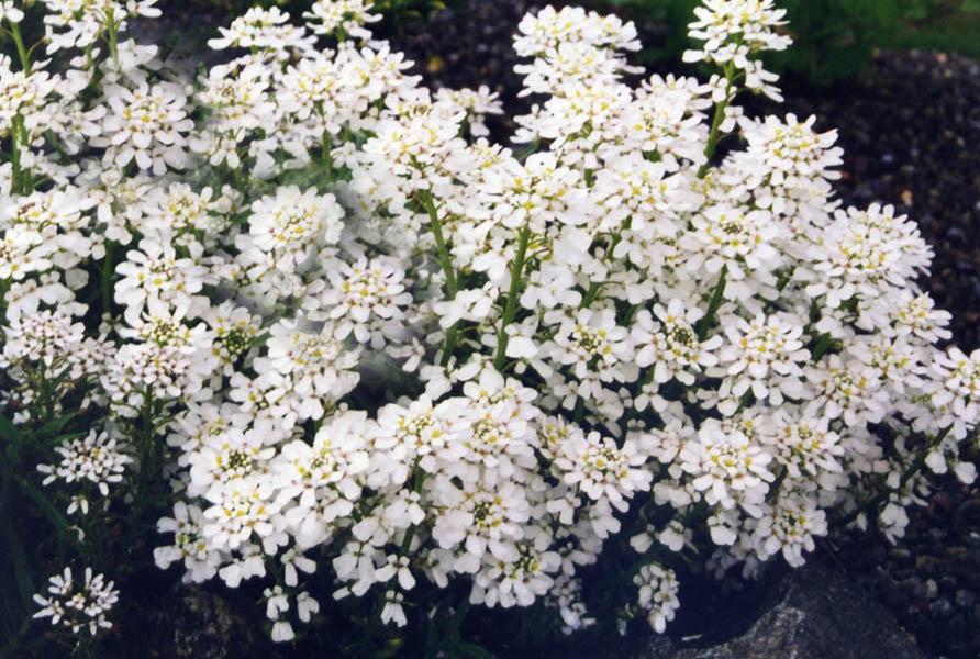 File iberis sempervirens 39 snowflake 39 jpg wikimedia commons for Iberis sempervirens
